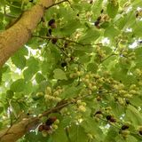 Mulberries hang on the branches. Mulberries in different maturity levels hang on the branches stock image