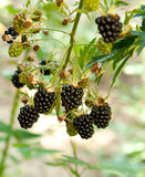 Mulberries fruits Royalty Free Stock Photography