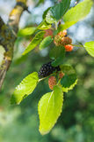 Mulberries Stock Images