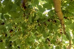 Mulberries hang on the branches. Mulberries in different maturity levels hang on the branches stock images