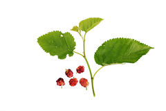 Mulberries with leaves Isolated on white background Royalty Free Stock Photography