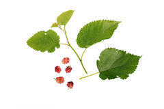 Mulberries with leaves Isolated on white background Stock Image