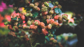 Mulberries Stock Image