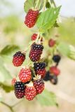 Mulberries in an orchard Royalty Free Stock Images