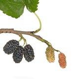Mulberries pretos Fotos de Stock Royalty Free