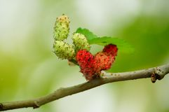Mulberries, Red, Fruit, Berry Stock Images