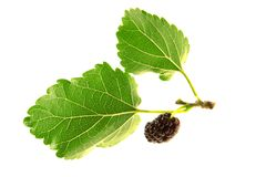Mulberry, Stock Photography