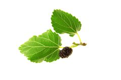 Mulberry, Royalty Free Stock Photo