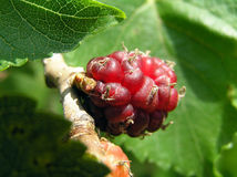 Mulberry. Fruit mulberry on a tree Stock Photo