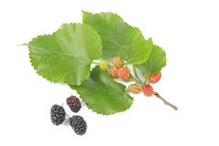 Mulberry. A little twig and ripe and unripe fruits of the mulberry tree, before a white background Royalty Free Stock Photography