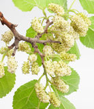 Mulberry. Isolated on white background royalty free stock photos