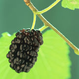 Mulberry, Royalty Free Stock Images