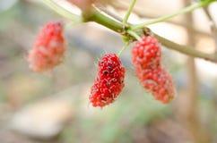 mulberry Fotos de archivo libres de regalías