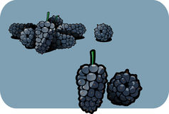 Mulberry. Vector color illustration of a mulberry.  The vector file is in AI-EPS8 format Stock Image