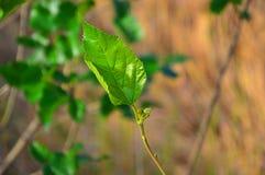 mulberry Fotografía de archivo libre de regalías