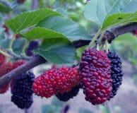 mulberry Foto de archivo libre de regalías
