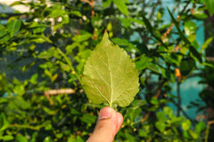 Mulberry back leaf. Stock Photos