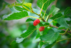 Mulberry berries Royalty Free Stock Photography
