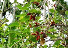 Mulberry : Berry's family fruit Citrus fruits With antioxidants Thailand Stock Image