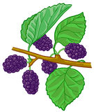 Mulberry branch. Isolated  illustration of mulberry branch Stock Images