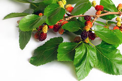 Mulberry branch Royalty Free Stock Photography