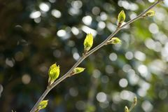 Branch with young leaves. Mulberry branch with fresh green young leaves in front of circle blurs Royalty Free Stock Photos