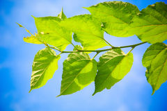 Mulberry branch Stock Photography