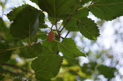 Mulberry branch with green leaves. And pink berries Stock Photography