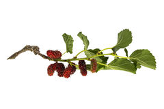 Mulberry branch on the white background Royalty Free Stock Photos