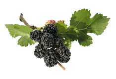 Mulberry branch Royalty Free Stock Images