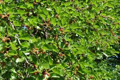 Mulberry branches with ripe and unripe fruits. Mulberry tree branches with ripe and unripe fruits royalty free stock photography