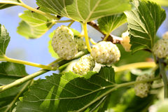 Mulberry branco Imagens de Stock Royalty Free