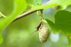 Mulberry branco e um erro nele. Imagem de Stock