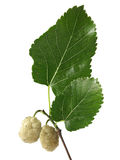 Mulberry branco (Morus alba) Fotografia de Stock