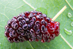 Mulberry. Close up to Mulberry. fresh organic mulberry fruit. on mulberry leaf Stock Images