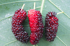 Mulberry. Close up to Mulberry. fresh organic mulberry fruit. on mulberry leaf Royalty Free Stock Photography