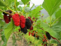Mulberry. The Mulberry is cold and sour. Helps cool off Restless exothermic Expel hot Relief Arriaga makes thirsty throat and leaving the body royalty free stock photos