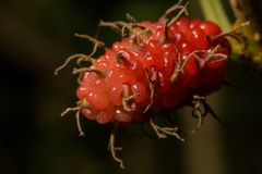 Mulberry color near the bright red. royalty free stock images