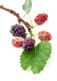 Mulberry em uma filial com uma folha Fotografia de Stock