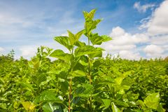 Mulberry farm Royalty Free Stock Image