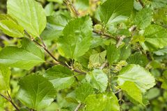 Mulberry leaves and flowers. Mulberry flowers and green leaves in late spring Royalty Free Stock Photo