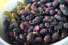 Mulberry. Fresh ripe mulberries closeup. Organic black mulberries background. Agriculture, gardening royalty free stock photo