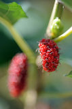 Mulberry fruit. Close up of fresh mulberry fruit on tree royalty free stock images