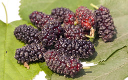 Mulberry fruit. Close up shot of fresh mulberry fruit royalty free stock images