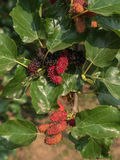 Mulberry fruit on branch. Stock Image