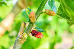 Mulberry fruit. Fresh ripe mulberry berries on tree - Fresh mulberry Royalty Free Stock Images