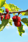Mulberry fruit in the garden royalty free stock image