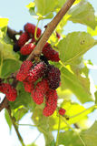 Mulberry fruit in the garden royalty free stock photography