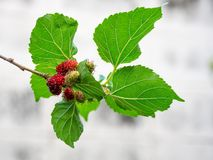 Mulberry fruit and green leaves on the tree. Mulberry this a fruit and can be eaten in have a red and purple color. Mulberry is de. Licious and sweet nature Stock Photo
