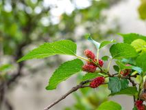 Mulberry fruit and green leaves on the tree. Mulberry this a fruit and can be eaten in have a red and purple color. Mulberry. Is delicious and sweet nature Royalty Free Stock Photo